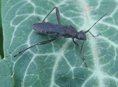 Alydus: broad-headed bug