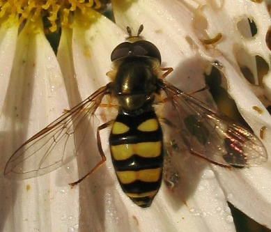 wasp-striped syrphid fly