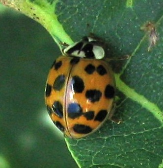 harmonia axyridis asian lady beetle