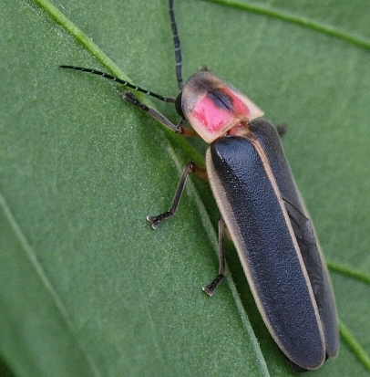 Photinus pyralis: firefly