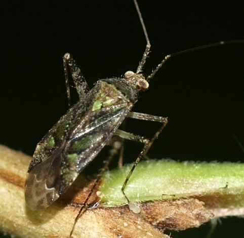 Phytocoris: plant bug