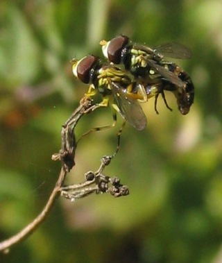 syrphidae mating