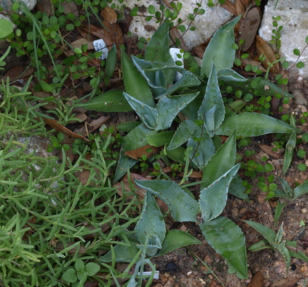 whale's tongue agave