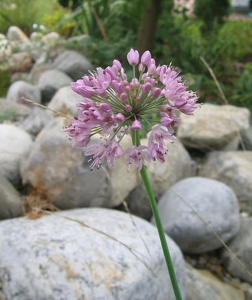 broadleaf chives