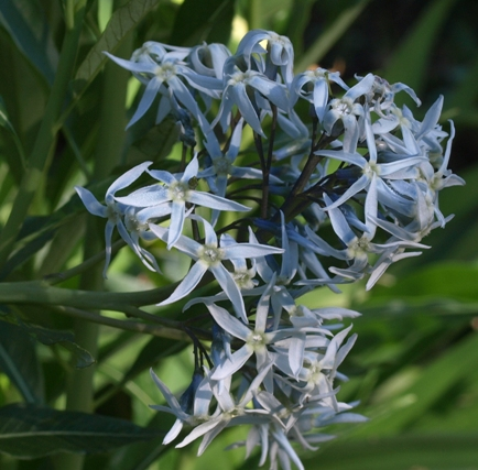 Jones' bluestar; Colorado desert blue star