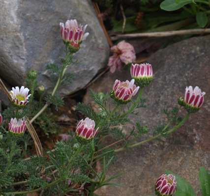 Anacyclus pyrethrum
