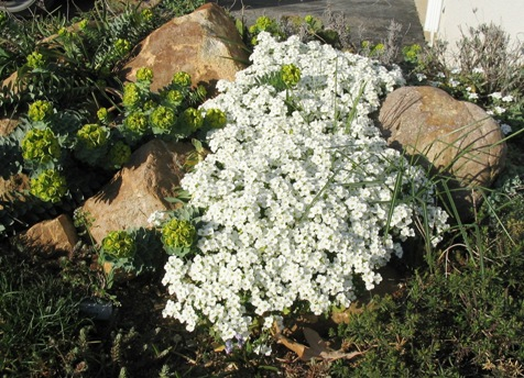 mountain rockcress