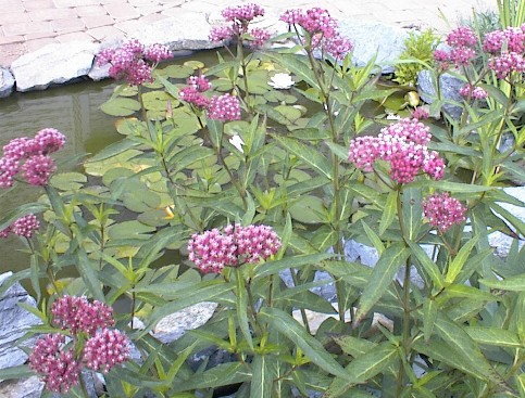 25 plantes refuges Jardin d'Eau AsclepiasIncarnata