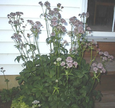 Astrantia major ex 'Hadspen Blood'