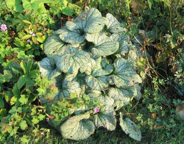 Brunnera macrophylla 'Jack Frost' and 'Variegata'