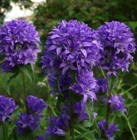 Campanula glomerata 39 superba 39 for Purple flowering shrubs identification