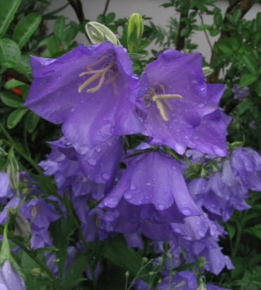 peach-leaf bellflower