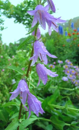 creeping bellflower; rampion bellflower