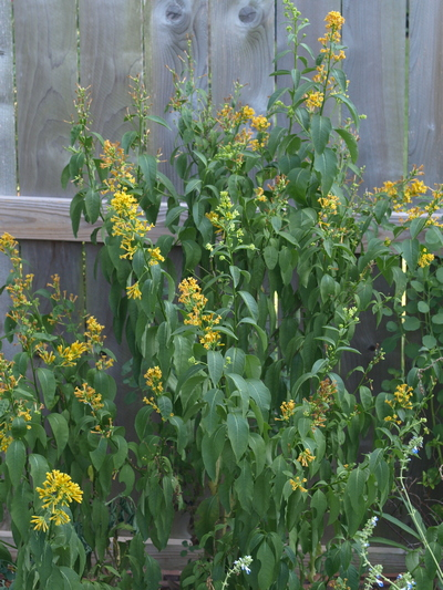 yellow cestrum; orange cestrum