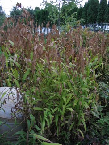 Ornamental grass a low maintenance alternative dallas for Ornamental sea grass
