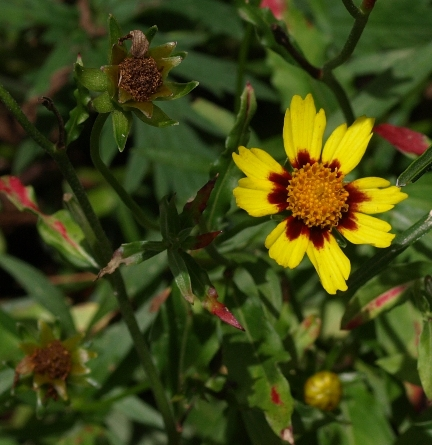 Coreopsis hybrids