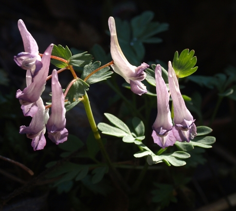 Corydalis shimienensis 'Blackberry Wine'