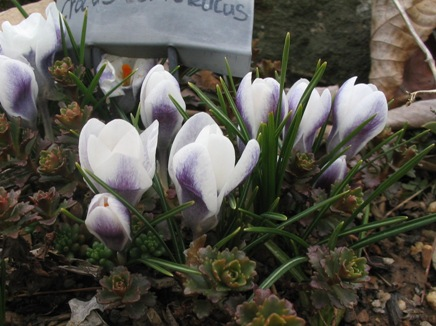 Crocus vernus (and hybrids)