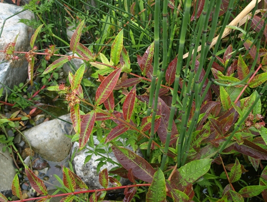 water willow; swamp loosestrife