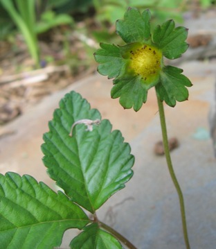 indian strawberry; mock strawberry