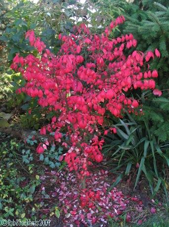 winged burning bush