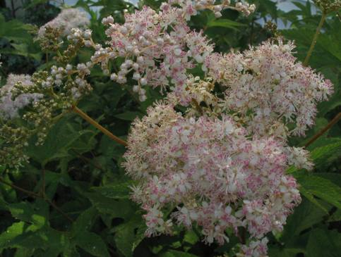 queen of the prairie, meadowsweet