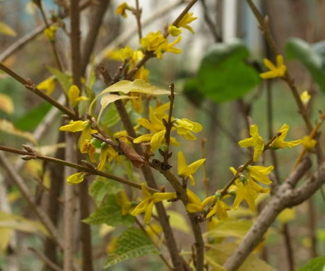 variegated Korean forsythia