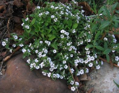 卷耳状石头花     gypsophila