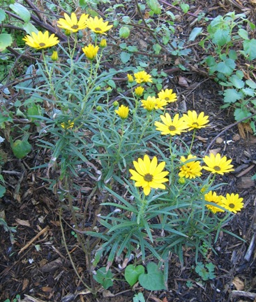 Helianthus angustifolius 'First Light'