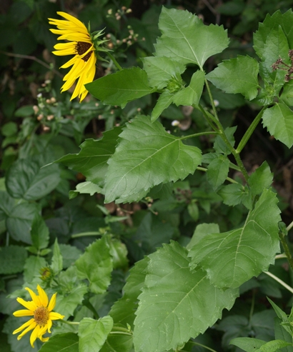 beach sunflower; cucumber-leaved sunflower