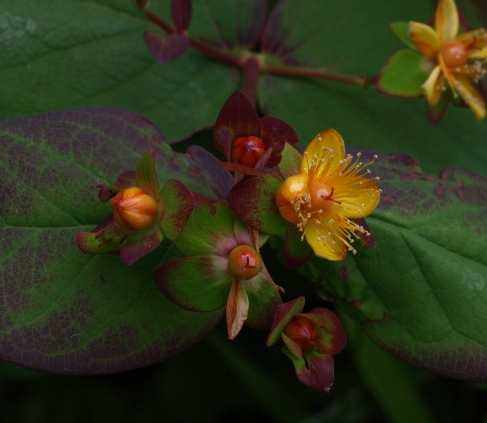 purple St John's wort