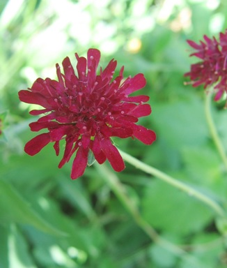 burgundy pincushion