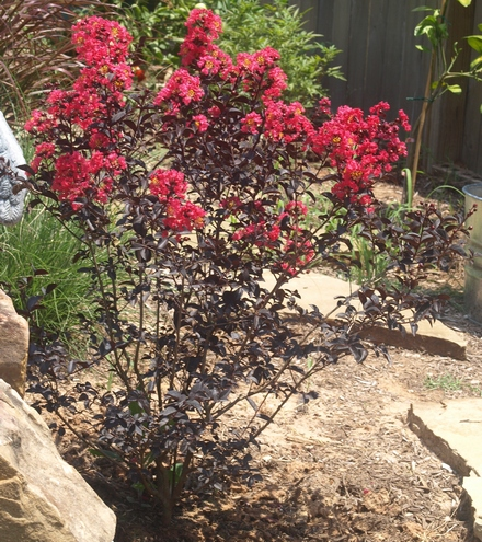 Lagerstroemia 'Midnight Magic' ('PIILAG-V')