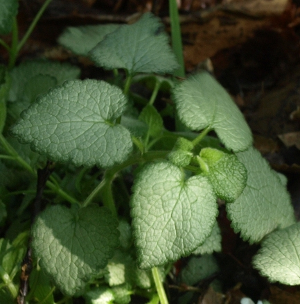 deadnettle