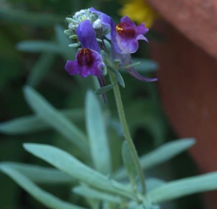 Linaria aeruginea 'Lindeza Violet'