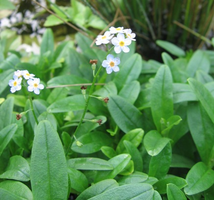 true forget-me-not; water forget-me-not