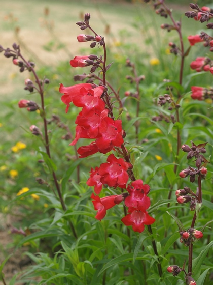 Penstemon 'Cherry Sparks'