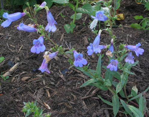 chaparral penstemon