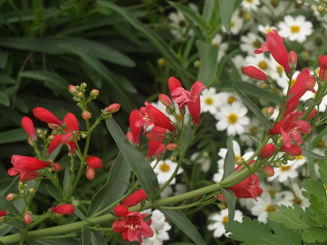 Penstemon schmidel 'Red Riding Hood'