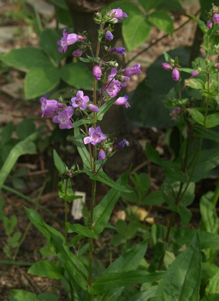 Gulf Coast penstemon