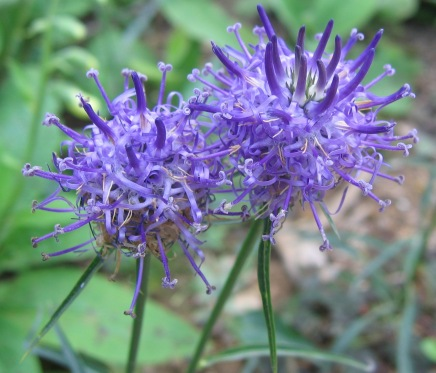 round-headed rampion