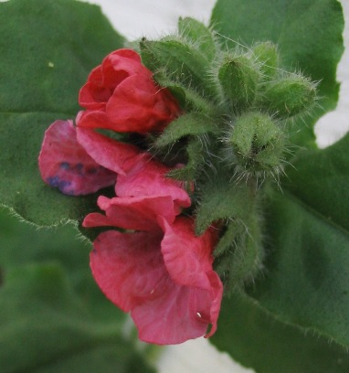 Christmas cowslip; red lungwort