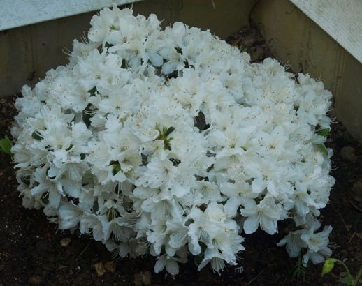 Rhododendron 'Delaware Valley White'