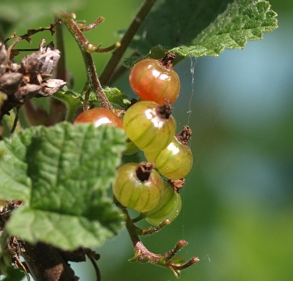 American red currant