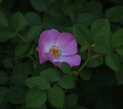 sweetbriar rose; eglantine