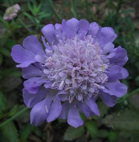 pincushion flower, scabious