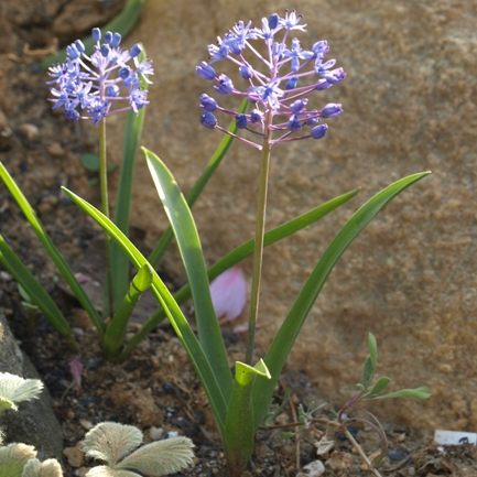 Scilla 'Unknown species'