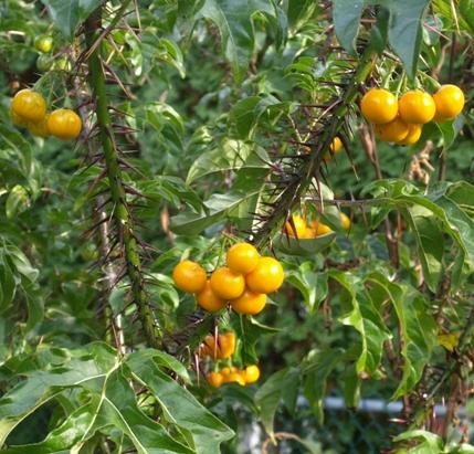 Solanum Atropurpureum Stock Photos & Solanum Atropurpureum Stock ...
