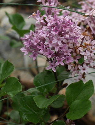 Meyer lilac; Korean lilac