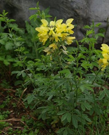 Thermopsis Chinensis Sophia